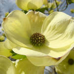 """Yellow White Dogwood Flowers Trees Blooming"" by BasleeTroutman"