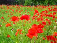 Poppy Flower Meadow Green Red Poppies art