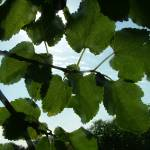 """""""Mulberry Leaves"""" by JRKlenPhotography"""
