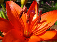 Orange Lily Flower Floral art prints Baslee