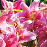 """Lily Flower Garden art prints Pink Lilies Baslee"" by BasleeTroutman"