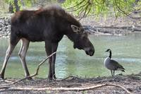Moose and Goose