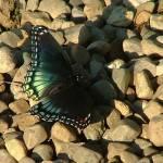 """Iridescent Blue Butterfly"" by JRKlenPhotography"