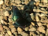 Iridescent Blue Butterfly