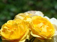 Yellow Roses art print Floral Rose Flowers Baslee