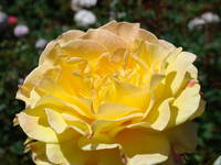 Pastel Yellow Orange Double Rose Flower art