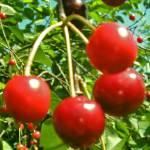 """""""Cherish Blossom Cherry"""" by andrianapamella"""