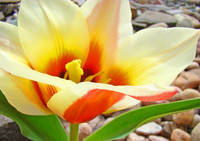 Tulip Flower art prints Yellow Orange Tulips Flora