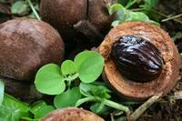 Origins of Nutmeg