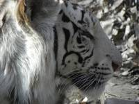 White Tiger - Original