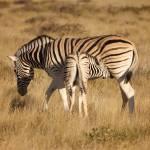 """""""zebras"""" by mjtseng"""