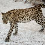 """leopard on the move"" by mjtseng"