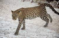 leopard on the move