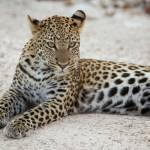 """""""leopard"""" by mjtseng"""