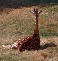 Giraffe lounging