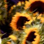 """sunflowers at nightfall"" by russgiffen"