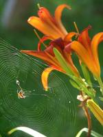Web of Lilies