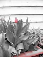 Single Red Tulip on the Roof
