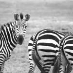 """Serengeti, Zebra"