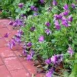 """Purple Flowers on a Brick Path"" by MissSarah"