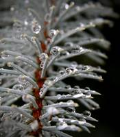 Pine Droplets