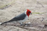 Red-crested Cardinal from kauai