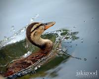 like a duck takes to water....