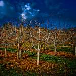 """""""Midnight in the Apple Orchard"""" by sabinedukes"""