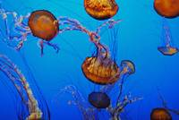Jellyfish Flying 1