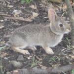"""""""Baby Bunny"""" by JRKlenPhotography"""