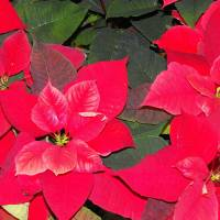 Poinsettia Art Prints & Posters by James Marlow