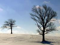 Two Trees in Winter