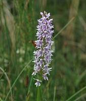 Fragrant orchid 6