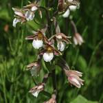 """Marsh Helleborine 3"" by rhallam"