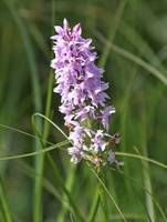 Fragrant orchid 3