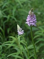 Common Spotted Orchid 37