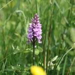 """Common Spotted Orchid 36"" by rhallam"