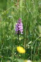 Common Spotted Orchid 36
