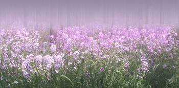 Wildflowers in Morning Mist