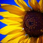 """""""Conquering the Sunflower"""" by sabinedukes"""