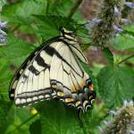 """Swallowtail on the Anise Hyssop"" by teenolan"