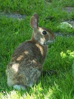 Brier Rabbit