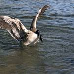 """Goose Landing On Lake"" by cvpictures"