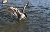 Goose Landing On Lake