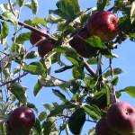 """Apple Harvest"" by cnyathome"