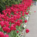 """Red Tulip Walkway"" by Groecar"