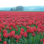 """Red Tulips"" by gritchhart"