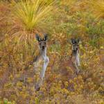 """Bush Kangaroos"" by tony-brown"