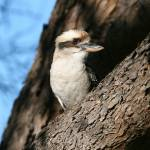 """Laughing Kookaburra"" by tony-brown"
