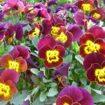 """Maroon Yellow Pansies"" by IcePic"